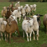 Member looking for 20 Hair Ewes to breed this April