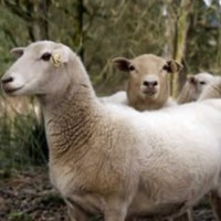 Member looking for Small Group of Hair Sheep and Ram