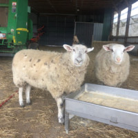 2 yearling Dorset cross bottle lambs for sale