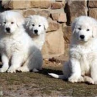 Great Pyrenees & Maremma mix puppies