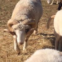 Breeding Ram for sale: Registered Horned Dorset